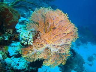Gorgonian coral, Island Bali