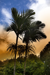 royal palm tree at sunset, Mauritius(Roystonea regia)
