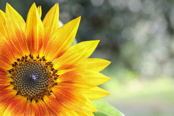 One organic sunflower, selective focus, copy space background