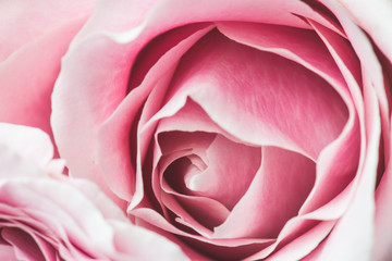 Pink Rose Flower with shallow depth of field and focus the centre of rose flower