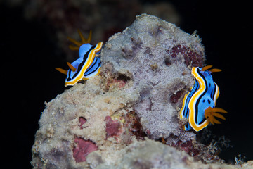 Two yellow, blue, white, purple and black nudibranch. Underwater