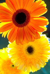 Beautiful fresh flowers, gerbera closeup vertical shot