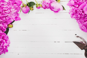 Fresh pink peony flowers on a white background. Space for text.
