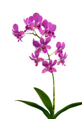 Purple (Violet) orchid on white