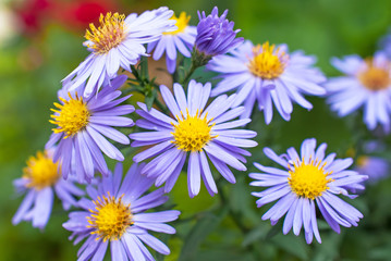 Beautiful aster flowers with dew drops on the petals