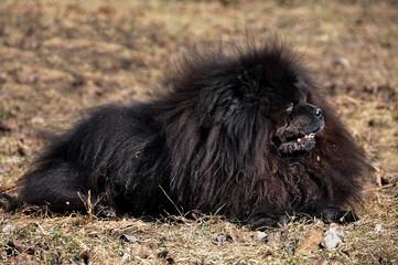 black Chow Chow dog outside