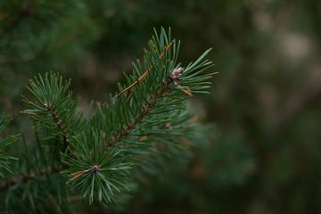 Дерево сосна ветка хвоя зеленая