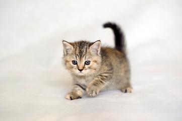 Kitten playing, small kitten brindle coat color, striped baby British tabby kitten, pet, cute kitten.