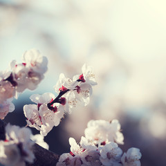White cherry blossoms in bloom with sky background