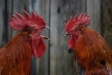 Two roosters against each other. Dominant rooster crowing, isolated on wooden background