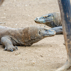 Biggest Lizard Komodo Dragon (Varanus komodoensis) in the Wild