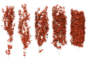 red ivy leaves in autumn.