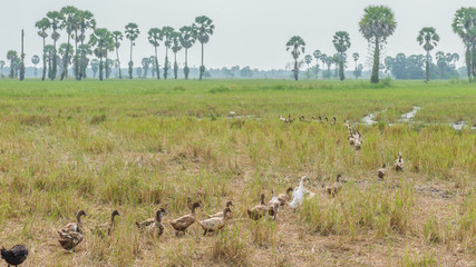 Ducks in the paddy field.