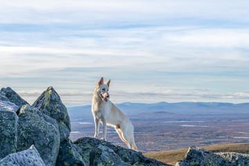 White German Shepherd dog standing on a mountain