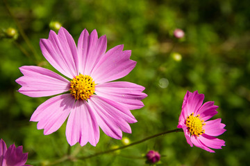 Pink flowers with yellow stamens