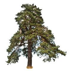 old large pine