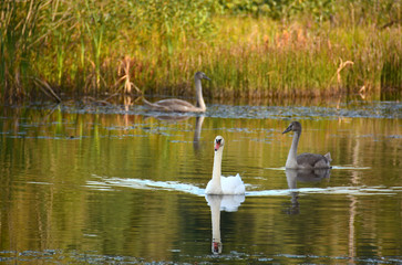 swans on water in wildlife
