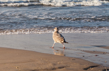 Herring Gull on the sandy beach