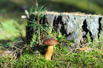 bay bolete mushroom in forest. (Imleria badia). some pine apple