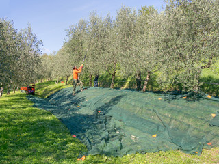 Olive harvest, Italy.Modern small scale production on high quality Extra virgin olive oil.