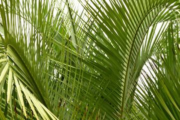 Palm tree fronds closeup