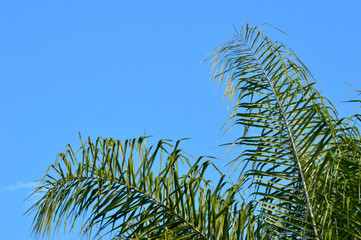 Fronds of a queen palm tree