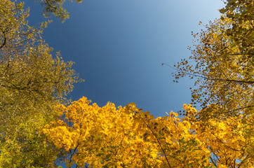 yellow and green maple trees with blue sky