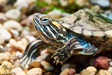 Small red-ear turtle