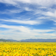 Field of sunflowers. Yellow sunflowers over mountains and blue sky