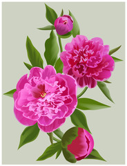 Realistic pink peonies. Vector flower illustration