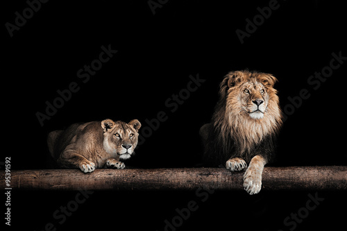 Lion and lioness, Portrait of a Beautiful lions, lions in the da
