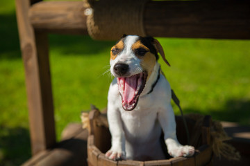 Little dog Jack Russell Terrier yawns