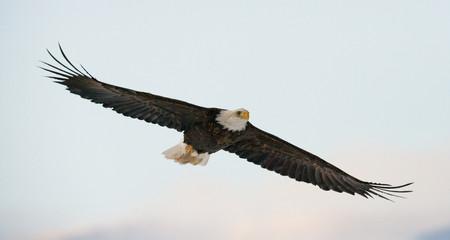 Bald eagle in flight. USA. Alaska. Chilkat River. An excellent illustration