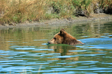 Eurasian brown bear, Veresegyhaz, Hungary