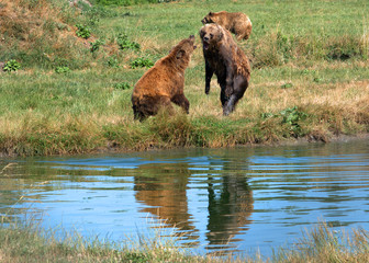 Eurasian brown bears, Veresegyhaz, Hungary