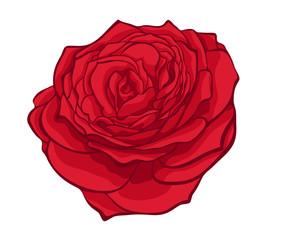 stylish red rose isolated on white