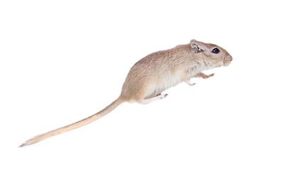 Profile of a funny gergil