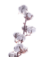 Flowers mature cotton on a white background