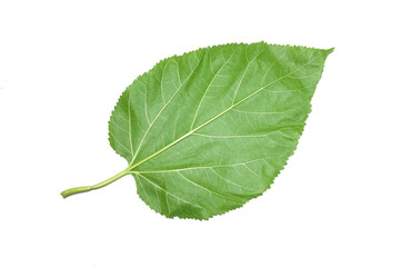 Mulberry leaf isolated on white background