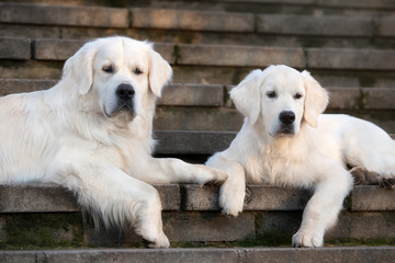 golden retriever dog lying down with a puppy on stairs