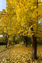 The picturesque landscape of the maple tree and the path covered