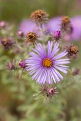 aster flower in the garden