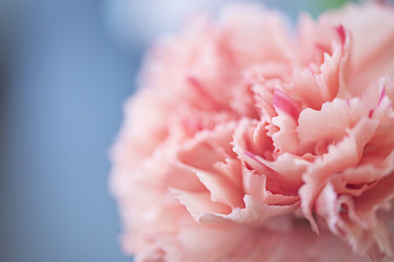 Close up of a pink carnation flower