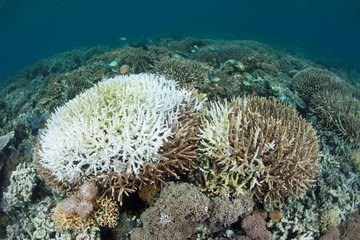 Corals Bleaching on Indonesian Reef