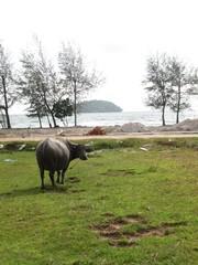 Wasserbüffel am Otres Beach in Sihanoukville, Kambodscha