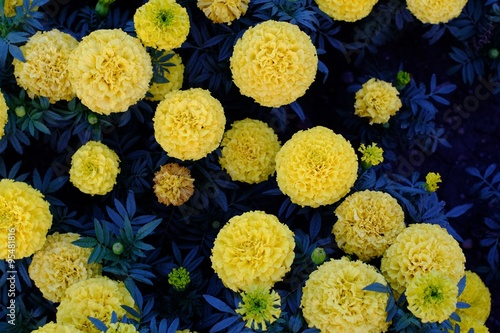Round yellow flowers on a dark blue background foliage stock photo round yellow flowers on a dark blue background foliage mightylinksfo