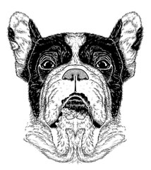sketch of portrait of French Bulldog (Black and white)