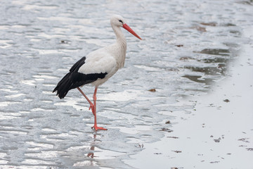 White stork standing on the ice
