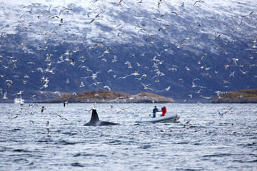 Whale safari on rib boat in the arctic environment