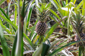 fresh pineapple in garden